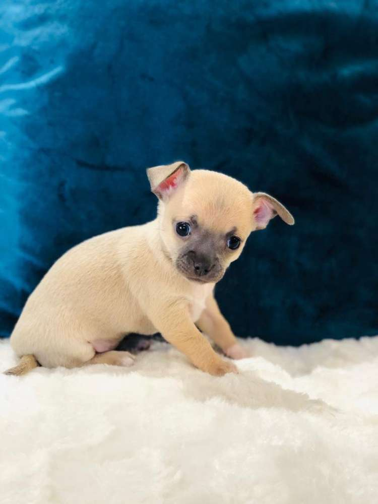 Chihuahua - Classified ads in Pets   OLX South Africa