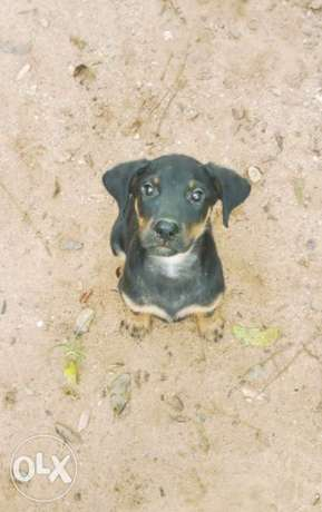 male Rottweiler Puppy for sale Abeokuta South - image 1