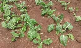 Spinach for sale from the shamba