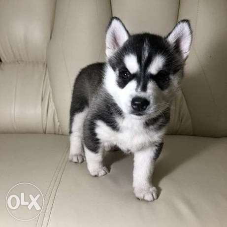 Siberian Husky puppies for sale. Boy and 3 girls.