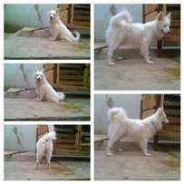 Adult male samoyed for stud service