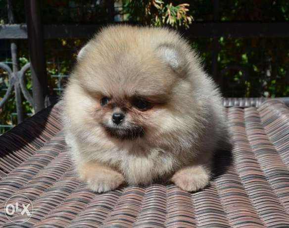 Cream pom puppy's for sale الرياض -  2