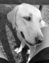 Female Labrador looking for a good home