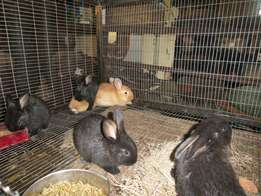 Rabbit's for sale for petting and breading stock