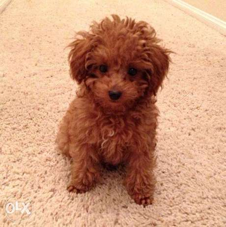 Pure Breed lovely toy Poodle