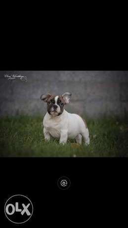 Reserve best imported french bulldog puppies