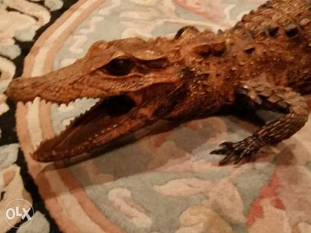 Crocodile decore 1 meter very clean