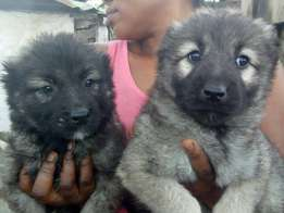 Caucasian puppies for sell