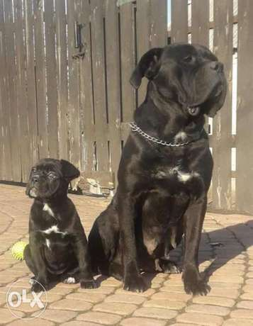 Imported Cane Corso Puppies From Ukraine