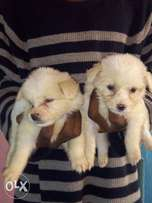 Pure Lhasa alpso healthy and ready for a new home 4females and 3males