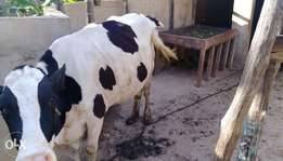 friesian dairy cow