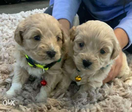 Outstanding teacup Maltipoo puppies available for sale