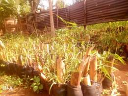 Bamboo for sale