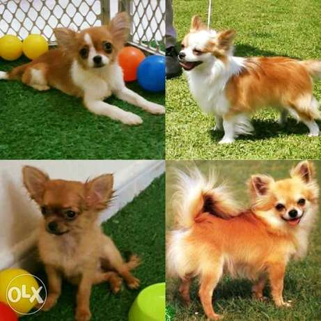 Long hair chihuahua puppies for sale