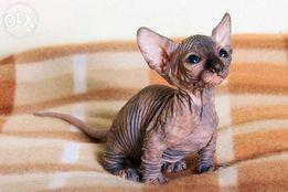 Koty Sfinks Z Hodowli Na Sprzedaż Ogłoszenia Olxpl