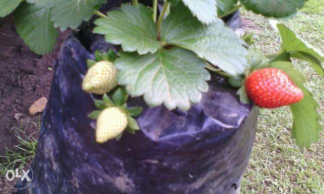 Potted strawberries seedlings at thirty bobs will grow hundred percent Nairobi CBD - image 2