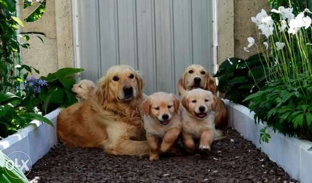 High Quality Golden Retriever Puppies