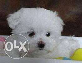 Looking for a reasonable priced maltese puppy.