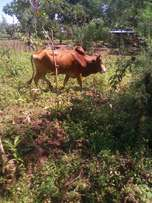 Domestic animal_bull