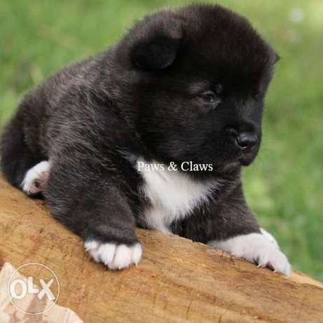 Offered for sale and booking of an American Akita puppy.