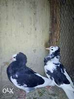 Exotic pigeons for sale