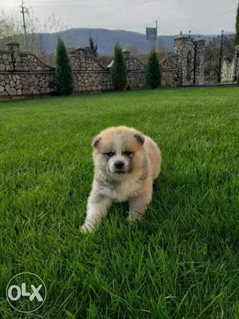Now You Can Get Akita lnu puppy From Best kennel in Ukrainian