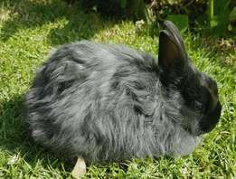 Dwarf Jersey Wooly bunny for sale