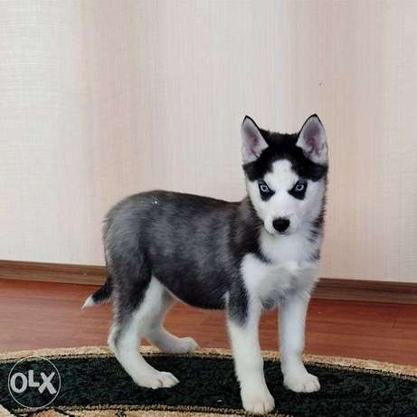 Husky is waiting for the best owners.