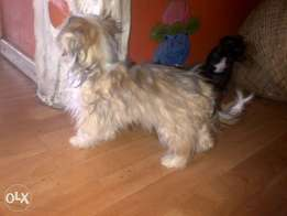 Urgent home needed for yorkie