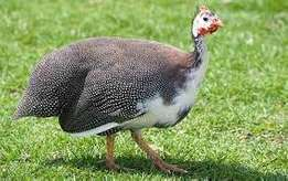 Guinea fowls for sale