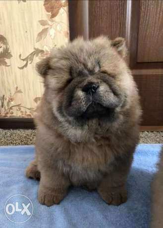 Chowchow Puppies Available