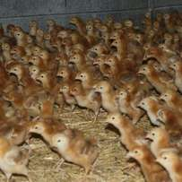 7days old kari chicks at 100.
