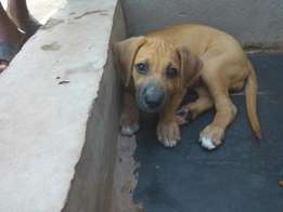 Boerboel/pit bull mix for 800ghc 3 three months all vaccinations done