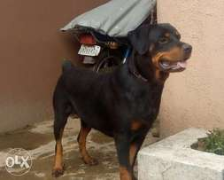 Pure Bred Adult Female Rottweiler