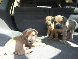 Boerboel female and male puppies in lagos
