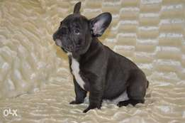 Blue French Bulldog puppies, imported with all dcs, premium quality