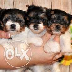 beaver Yorkshire Terrier (KSU) puppies reserve and ready to move