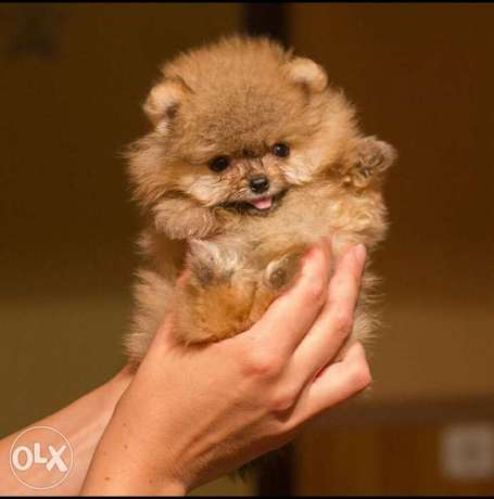 Teacup Pomeranian From Europe Maximum Adult Weight 2 kg