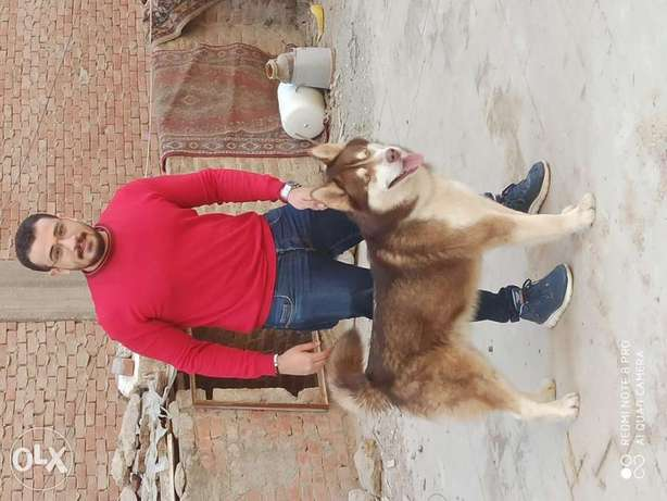 Best male husky in egypy