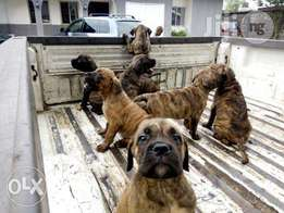 Purebred Boerboel Puppies for Sale
