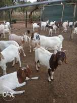 11 goats for sale.