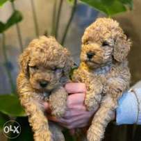 Super Quality Toy Poodle Imported from Europe . Fastest Delivery