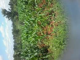 60*100 plot in kenol thangira, 2km from nyeri_nairobi highway