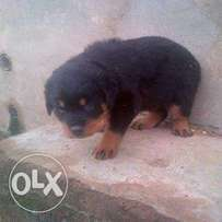 rottweiller puppies for sale