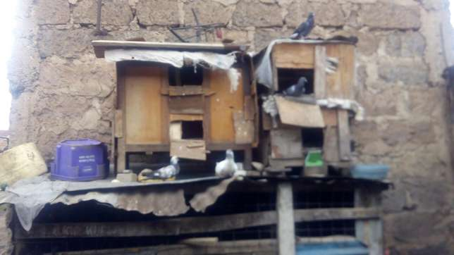 Pigeons for sale (dush) Dagoretti - image 2