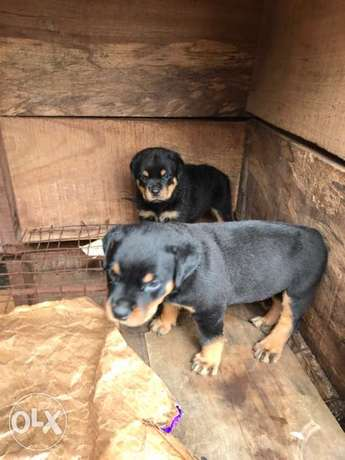 Pedigree Rottweiler puppies available Ugbowo - image 4