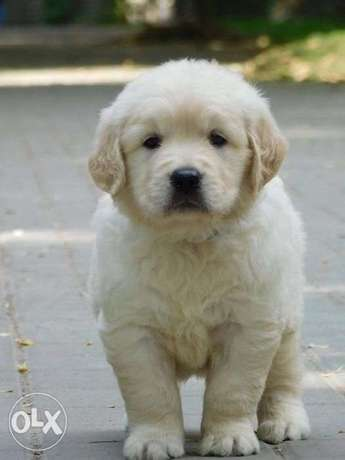 Imported golden retriever puppies with pedigree microchip and inter