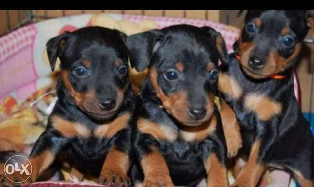 Mini pinscher puppies, imported with all dcs