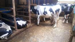 Dairy cows experts
