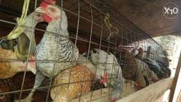 75 hens Wood cage with 20 hens